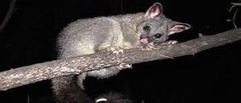Possum Removal Bonner