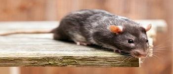 Rodent Control Bonner